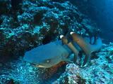 Whitetip Reef Sharks (Triaenodon Obesus) At Cleaning Station