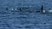 Killer Whales (Orcinus Orca) Attack Gray Whale (Eschrichtius Robustus)
