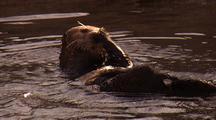 Sea Otter Grooming In Monterey Harbor