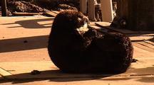 Sea Otter Grooming On Pier In Monterey Harbor