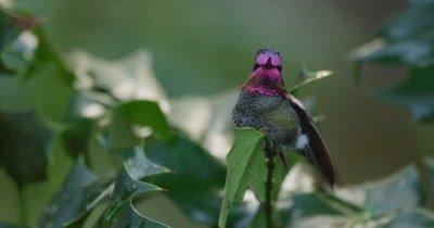 Anna's Hummingbird (Calypte anna), territorial male