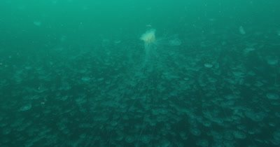 Moon Jellies (Aurelia labiata) mass aggregation