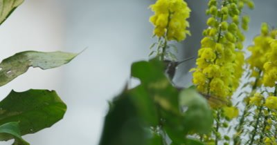 Anna's Hummingbird (Calypte anna) feeding on Mahonia bloosom