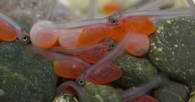 Coho Salmon (Oncorhynchus kisutch) Eggs Hatching