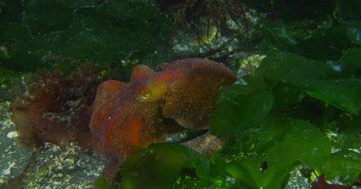 Giant Pacific Octopus (Enteroctopus dofleini) foraging