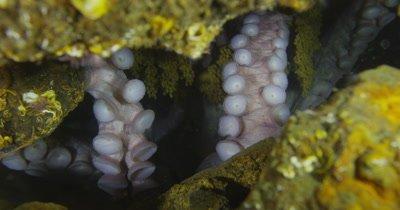 Giant Pacific Octopus (Enteroctopus dofleini) denning and egg care