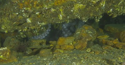 Giant Pacific Octopus (Enteroctopus dofleini) denning and egg care