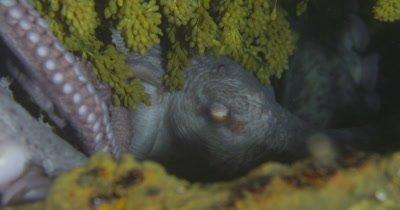 Octopus den with eggs