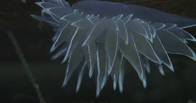 Frosted Nudibranch (Dirona albolineata)