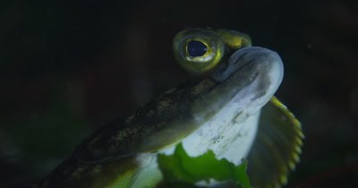 Starry Flounder (Platichthys stellatus), Close-up