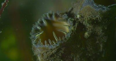 Pacific Razor Clam (Siliqua patula) - Siphon