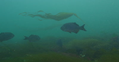 Bull Kelp (Nereocystis luetkeana)