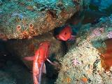 Vermilion Rockfish (Sebastes Miniatus)