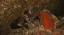 Copper Rockfish Over Lobos Canyon