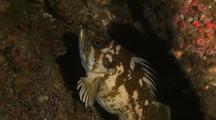 Copper Rockfish / Lobos Canyon
