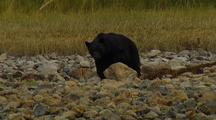 Black Bear Foraging On Crabs, Vancouver Island