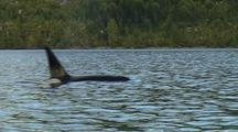 Killer Whales (Orcinus Orca) Transients Of Vancouver Island