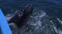 Friendly Gray Whales, Laguna San Ignacio