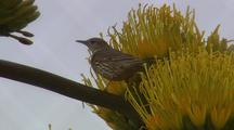 Bird Feeds On Agave Flowers