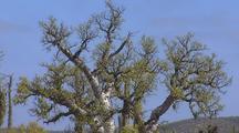 Elephant Tree, Torote Blanco (Bursera Odorata)