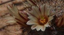 Mammillaria, Pincushion Cactus, Fishhook Cactus, Viejita, Biznagita