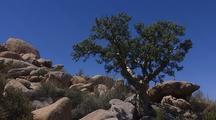 Sand Verbena (Abronia Gracilis) Alfambrilla