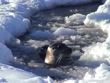 Bearded Seal Mother (Erignathus Barbatus) Checking On Pup On Sea Ice