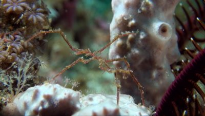 Sea Spider (Pycnogonida sp.)