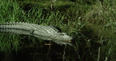 Sunning American Alligator