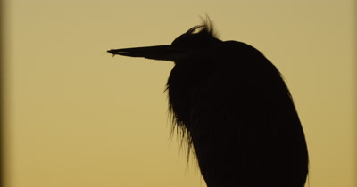 Blue Heron at Dusk