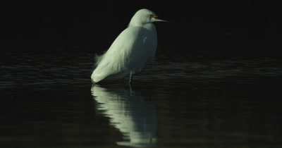 Egret Fishing for Shrimp