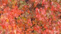 Vivid Red Fall Colored Leaves