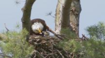 Bald Eagle Feeding Newly Hatched Eaglet In Nest