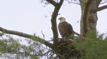 Bald Eagle Perched On Nest In White Pine Tree