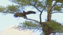 Bald Eagle, Older Eaglet Testing Wings