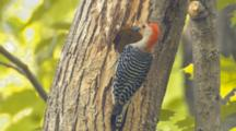 Red-Bellied Woodpecker Feeding Young At Nest Tree