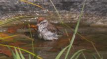 Chipping Sparrow Bathing In Pool Of Water
