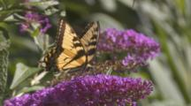Tiger Swallowtail Butterfly Feeding On Nectar From Flower On Butterfly Bush