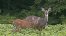 White-Tailed Deer With Fawns Feeding In Soybean Field