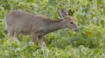 White-Tailed Deer Feeding In Soybean Field