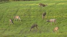 White-Tailed Deer Herd In Crop Field