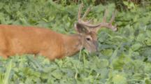 White-Tailed Deer, Buck Eating In Soybean Field