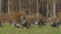 Wild Turkey Flock Of Adult Toms Alert And Walk In Autumn Meadow