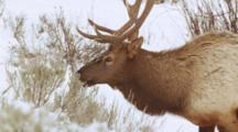 Bull Elk Browsing On Sagebrush In Winter