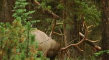 Bull Elk Thrashing Pine Tree