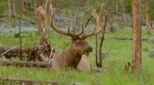 Bull Elk Bedded In Pine Forest Chewing Cud