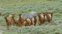 Herd Of Elk Trotting