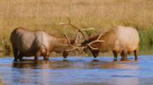 Bull Elk Sparring In River