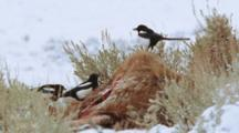 Black-Billed Magpies Feeding On Rocky Mountain Elk Carcass In Winter