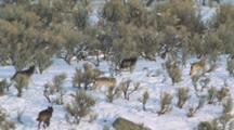 Gray Wolf Pack In Winter
